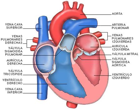Sistema Circulatorio | Residencias Asistidas Alcalá Del Júcar y Mahora