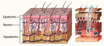 estructura piel