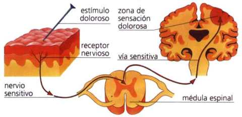 nociceptores