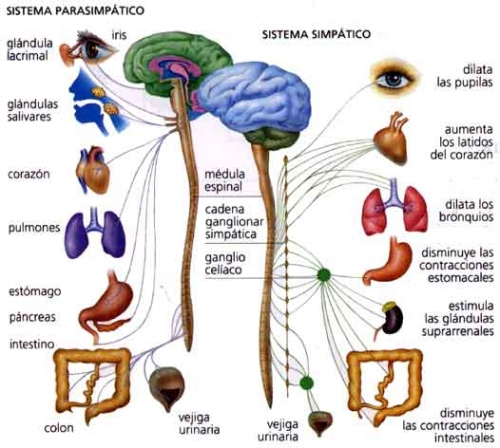 sistema_nervioso_autonomo_317255_t0