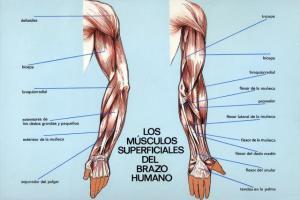 musculos_superficiales_del_brazo_humano