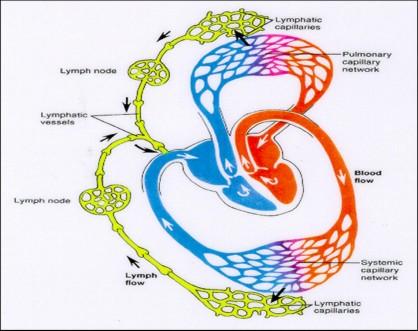 linfático1